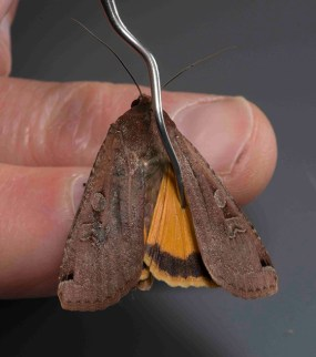 PHOTO: A cryptically-colored Noctua pronuba (Large yellow underwing moth).
