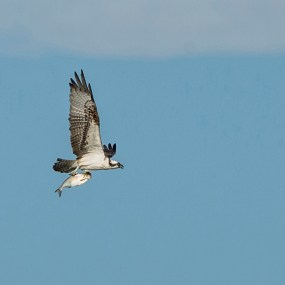 PHOTO: An osprey keeps a tight grip on lunch.