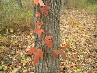 PHOTO: Poison ivy with red leaves growing as a vine on a tree.