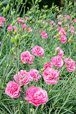 Pinks (Dianthus hybrida 'Valda Louise')