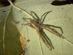 PHOTO: Closeup of a tiny brown spider clinging to the back side of a leaf.