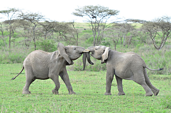 PHOTO: Two baby elephants playing on the savannah.