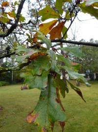 PHOTO: Quercus boyntonii
