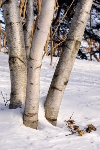 PHOTO: Birches in winter.