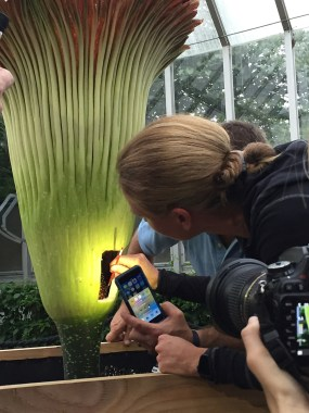 PHOTO: Chicago Botanic Garden President and CEO Sophia Shaw pollinates a titan arum from the collection.