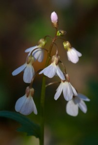 PHOTO: Purple cress