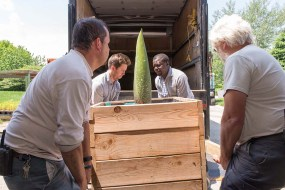 PHOTO: Loading up the titan arum bud in the truck.