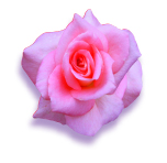 PHOTO: Tiffany rose.