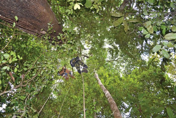 PHOTO: Tracy Misiewicz climbs into the canopy of a tropical rainforest to collect data on pollination.