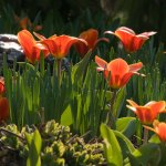 PHOTO: Tulipa x kaufmanniana 'Early Harvest'