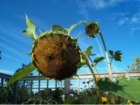 PHOTO: Sunflower nodding down toward the ground.