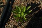 Viola sagittata 1