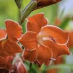 PHOTO: Gladiolus (Gladiolus primulinus 'Atom').