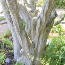 American hornbeam or muscle wood (Carpinus caroliniana) bark.
