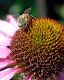 PHOTO: A honeybee from the Fruit & Vegetable Garden hives pollinates some Echinacea purpurea