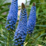 PHOTO: Echium fastuosum 'Pride of Madiera'