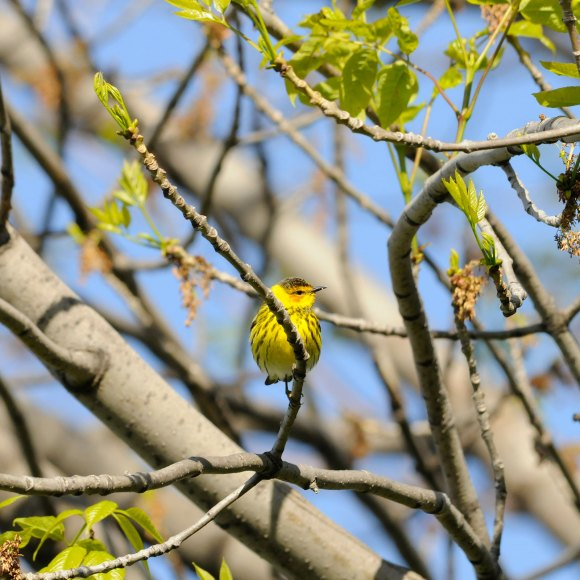 Cape may warbler.