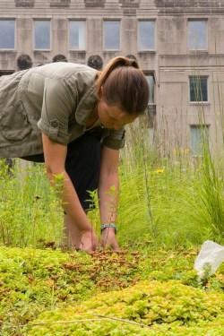 PHOTO: Ksiazek bending to examine blooming sedums on Chicago's City Hall green roof.