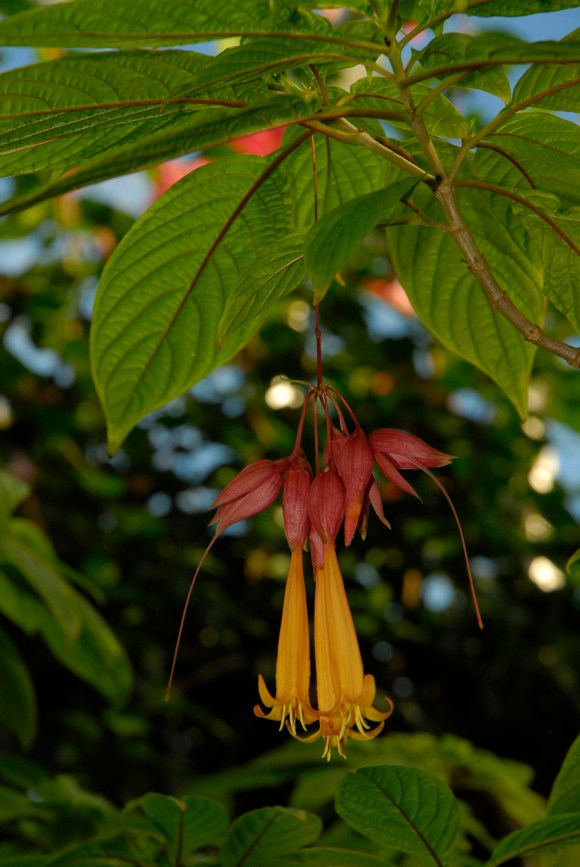 PHOTO: Deppea splendens