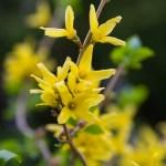 Forsythia 'Meadowlark'