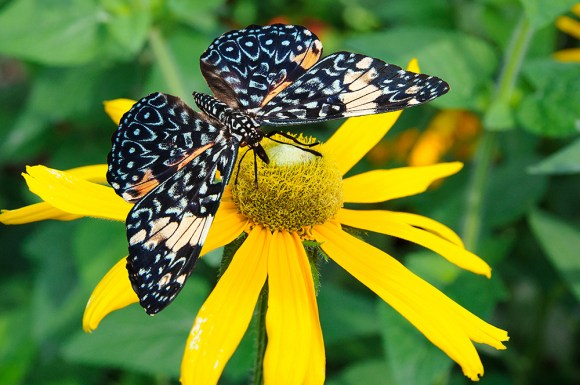 PHOTO: King Cracker butterfly