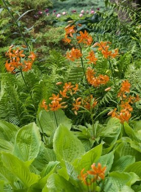 PHOTO: The orange blooms of a martagon lily poke up through a bed of hosta.