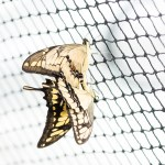 Butterflies mating on a net; photo © Andreas Krappweis