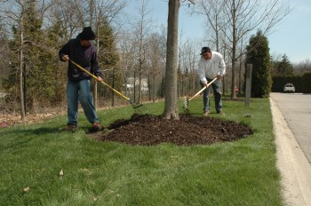 PHOTO: Grounds staff spread leaf mulch around the base of a tree.