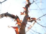 PHOTO: Paperbark maple (Acer griseum) bark.