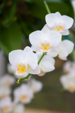 PHOTO: Phalaenopsis 'Timothy Christopher' moth orchid in bloom.