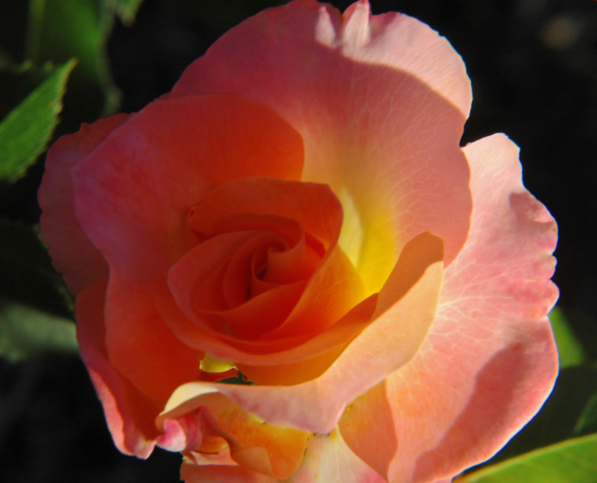 Rosa 'Day Breaker'
