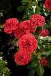Rosa 'Lavaglut'