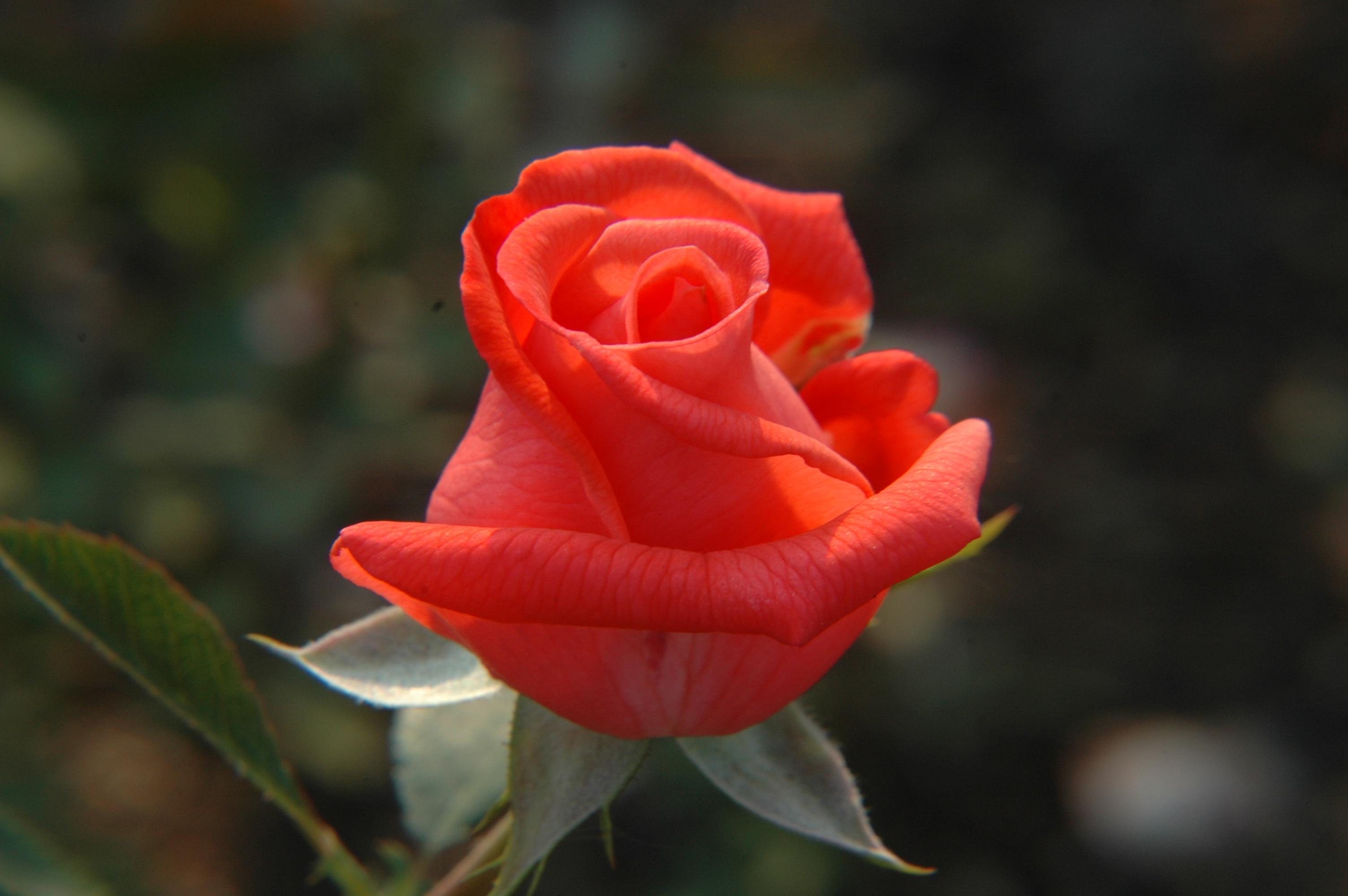 Rosa 'Tanorstar'