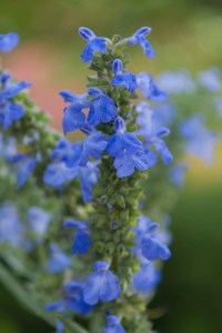 PHOTO: Pitcher's sage (Salvia azurea var. grandiflora)
