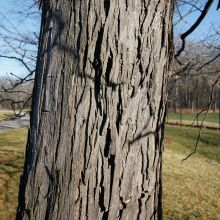 Shagbark hickory (Carya ovata) bark.