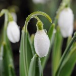 PHOTO: Snowdrops blooming in early spring