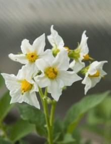 PHOTO: Potato flower (Solanum tuberosum 'Kennebec')