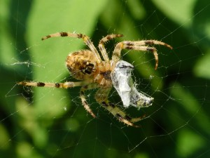 PHOTO: a female cross orbweaver spider, ventral view