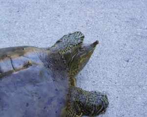 PHOTO: Closeup of the spiny soft-shelled turtle.