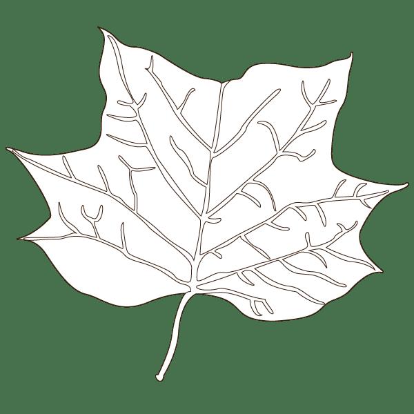 tulip tree leaf illustration