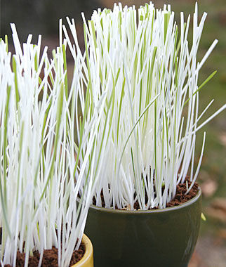 a potted plant of white grass leaves.