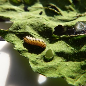 PHOTO: Viburnum leaf beetle (Pyrrhalta viburni) larva.