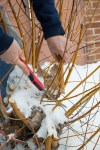 Pruning willow