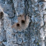 woodpecker_damage_1