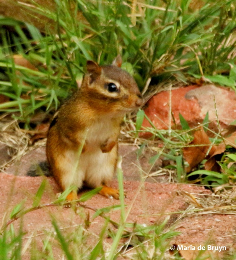 Large Of How To Kill Chipmunks
