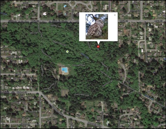 The barred owl can be spotted at Edmonds' Yost Park.