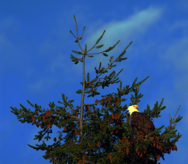 From Ken Sjodin, an eagle perched on a tree near Sunset Avenue Friday.