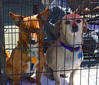 PeeWee and Poppy, who are waiting for new homes, check out the passersby at Ginger's Pet Rescue, which brought adoptable animals to Edmonds Pet Fest.