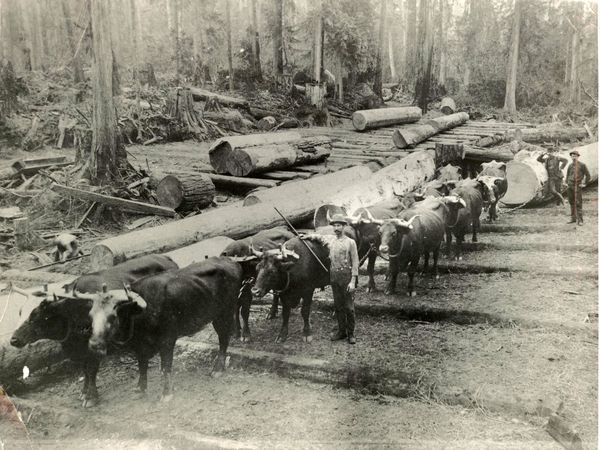 George Brackett and his team of oxen, circa 1885.  Legend has it that finding himself two signatures short on his 1890 application to incorporate Edmonds as a town, Brackett added the names of two of these oxen, Simon and Bolivar. (Photos courtesy of Edmonds Historical Museum)