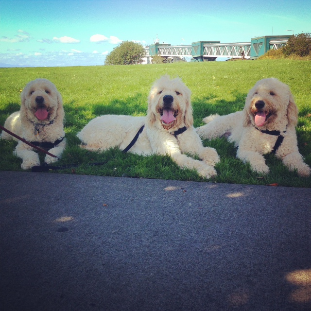 It's a dog's life on the Edmonds waterfront Monday, as goldendoodle brothers Peyton, Wilson and Jackson enjoy the first day of September.